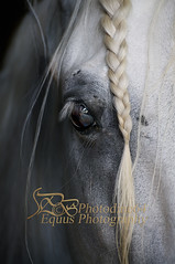 Brillante Eye (PHOTODINE64 Equus Photography) Tags: horse cheval equestrian equus equineart equinephotography equestrianart horsephoto equestrianphotography horsephotographer horsephotography horsepicture equestrianartist photodine64 photographieequestre equusphotography photographeequestre