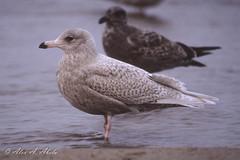 Glaucous Gull -1st Year - December (aaabela) Tags: bird december gull aves larus 1styear laridae charadriiformes glaucousgull larushyperboreus hyperboreus chordata
