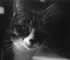 Cat (Shooting Ben) Tags: blackandwhite bw pet 6x6 mamiya animal cat mediumformat eyes feline natural ears whiskers 6x7 nofilter mamiyarb67 caffenol lookingstraight caffenolc
