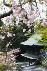 20160410-DSC_7264-2.jpg (d3_plus) Tags: sky plant flower history nature japan trekking walking temple nikon scenery shrine bokeh hiking kamakura fine daily telephoto bloom  tele nikkor    kanagawa   shintoshrine   buddhisttemple dailyphoto sanctuary   70210 thesedays kitakamakura    fineday  70210mm   holyplace historicmonuments 70210mmf4  ancientcity        70210mmf4af 702104 d700 nikond700  aiafnikkor70210mmf4s 70210mmf4s