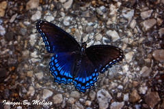 watermarkedblurredbackgroundIMG_2306_edited-1 (Melissa Grose) Tags: blue black nature butterfly insect pavement gravel