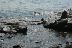 IMG_7647 (chupalo) Tags: sealions lavarocks islasplaza