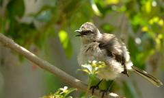 Juvenile Mockingbird DSC_0377 (blthornburgh) Tags: nature garden tampa backyard florida mockingbird songbird northernmockingbirdmimuspolyglottos