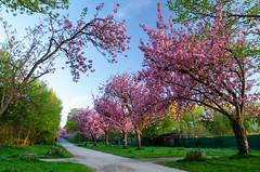 Kirschblten im Slzer Aquarienweg in Kln (hellebaud) Tags: pflanze kln cherryblossom blte morgen baum cherrytree frhling allee kirschblte kirschblten