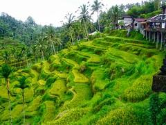 Rice terraces on a hillside on Bali, Indonesia (UweBKK ( 77 on )) Tags: trees bali indonesia asia rice fx9 farm hill terraces palm panasonic crop southeast agriculture hillside dmc dmcfx9