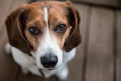18/52 (cathy sly) Tags: dog pet love beagle basil thatface 52weeksfordogs