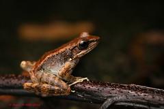 The Ryukyu Tip-nosed Frog -Yanbaru Forest (Okinawa Nature Photography) Tags: canon endangered amphibians 100macro narina ryukyuislands odorrana canon70d okinawanaturephotography frogsofokinawa kunigamisan endemictookinawa theryukyutipnosedfrog