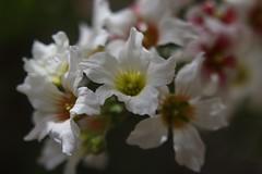 Blossom, Beijing (NovemberAlex) Tags: china flowers blossom bokeh beijing flowercloseup