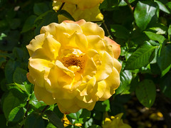 Yellow Rose (melastmohican) Tags: park red summer plant flower color macro green love nature floral beautiful beauty field rose yellow closeup garden season botanical outdoors spring bush flora colorful day natural blossom gardening outdoor sunny nobody fresh petal bloom shrub rosebush blooming