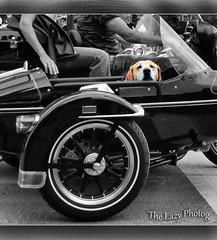 Aug 7 2011 - Very happy Sturgis passenger (lazy_photog) Tags: black color classic car photography golden lab south side rally harley hills lazy motorcycle passenger races davidson dakota sturgis elliott selective photog
