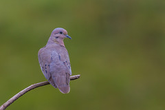 Eared Dove - Brazilian Birds - Species # 179 (Bertrando) Tags: brazil nature birds brasil wildlife natureza aves birdwatching pssaros campos brazilianbirds bertrando eareddove zenaidaauriculata pombadebando