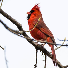 The King (Pictures ilike) Tags: cardinal