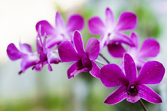 Orchid Flower (Hendraxu) Tags: morning moon plant orchid flower macro nature water closeup purple blossom bokeh dew