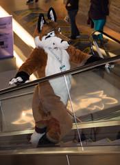_DSC8421 (Acrufox) Tags: midwest furfest 2015 furry convention december hyatt regency ohare rosemont chicago illinois acrufox fursuit fursuiting mff2015