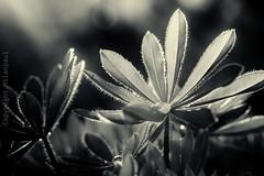 Emsland - Frhling_IMG_3517 (milanpaul) Tags: germany deutschland pflanze april monochrom blume makro garten nahaufnahme frhling emsland lingen niedersachsen sigma105mmf28dgoshsmmakro