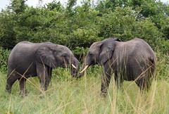 Elephants (little_duckie) Tags: africa elephant zebra giraffe hippopotamus hyena zambia bigfive southluangwa southluangwanationalpark