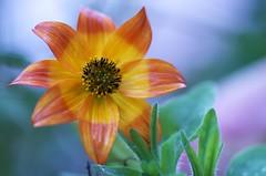 pastel (IMGP2329silk-) (rondoudou87) Tags: orange flower color macro nature wet jaune pentax pastel vert bleu