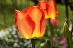 Von der Sonne durchschienene Tulpen - Sunlit tulips (riesebusch) Tags: berlin garten marzahn
