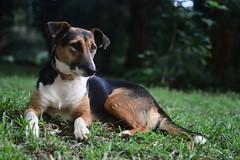 (Leela Channer) Tags: dog brown black nature grass animal female garden evening kenya bokeh ears mongrel patches