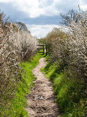 The path to Manningtree. Essex, England. (Penfoel) Tags: england walking spring mud blossom earth exploring paths essex hedges manningtree