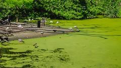 Rookery in green... (Pedro1742) Tags: green birds pond ibis vegetation algae rookery