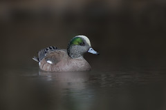 American Wigeon (Peter Stahl Photography) Tags: male duck americanwigeon sprring