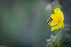 Gusto ((Raffaella@)) Tags: flowers flower primavera yellow insect spring giallo fiori fiore insetto schwebfliege sirfido roccadimanerba sirfide