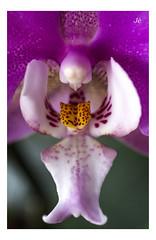 Barroco (J/Mariajo Gamero) Tags: flores orqudea macrofotografa