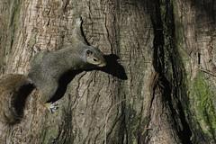 Squirrel_SAF3486 (sara97) Tags: nature outdoors squirrel wildlife goose missouri saintlouis waterfowl canadagoose towergrovepark omnivore photobysaraannefinke copyright2016saraannefinke
