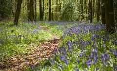 Purple Path (Collingwood505) Tags: flowers camp sun sunlight plant flower green bluebells blackberry purple fort outdoor