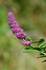 Douglas' Spiraea (ajblake05) Tags: plants canada britishcolumbia northamerica coquitlam lowermainland rosaceae greatervancouver minnekhadaregionalpark spiraeadouglasii douglasspiraea