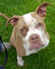 Emiglia_03 (AbbyB.) Tags: rescue dog pet newjersey canine shelter adopt shelterpet petphotography easthanovernj mtpleasantanimalshelter