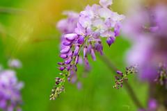 Wisteria (Jill-Wang) Tags: flower macro purple 100mm fujifilm wisteria 100mmmacro leicar xpro1 jillwang