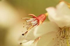 20160424-09_Archetypal Spring Blooms (gary.hadden) Tags: park flowers macro tree spring memorial pretty stamens romantic coventry floweringcherry topgreen