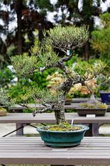 20160413-28-Bonsai at Kyoto Botanic Gardens (Roger T Wong) Tags: travel trees holiday japan kyoto bonsai botanicgardens 2016 canonef70200mmf4lisusm canon70200f4lis canoneos6d rogettwong