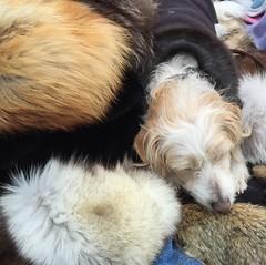 dog and hats (Hayashina) Tags: hat fur market