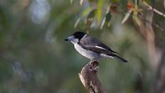 Grey Butcherbird (Byron Taylor) Tags: bird nature birds canon grey wildlife reserve australia southpacific nsw butcherbird dural greybutcherbird australiasia canon7d duralnaturereserve