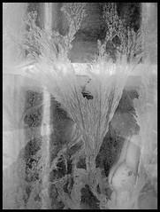 EISBLUMEN . FLEURS DE GIVRE . ICE FLOWERS (LitterART) Tags: bunny ice window bars frost fenster eis hase fenetre gitter eisblumen finestre iceflowers vergittert fleursdegivres