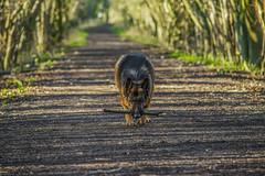 Dog Walk (FurtiveOutsider) Tags: dog pet forest out outside shepherd path walk german stick germanshepherd alsatian gsd