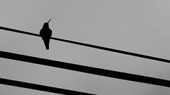 Cuervobr (Jonas Hsler) Tags: blackandwhite contrast hummingbird aves retratos contraste animales raven cuervo colibr colibres
