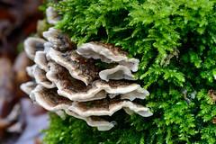 Baumpilze und Moos (G_Albrecht) Tags: pflanze landschaft pilz baumpilz