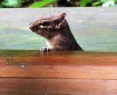 DSCF4591 (ShrillHawk 2) Tags: nature animals critter wildlife chipmunks