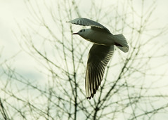 20160116-10_Coombe Abbey_Gull_In Flight (gary.hadden) Tags: birds flying inflight gulls coombeabbey coombecountrypark coombepark
