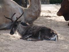 Artis Zoo, Amsterdam (Nigel's Europe & beyond 2) Tags: holland netherlands amsterdam reindeer artiszoo bactriancamel naturaartismagistra watusicattle royalamsterdamzoo
