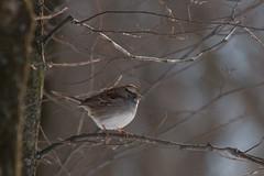 white-throated sparrow (carlson322) Tags: nature birds canon wildlife nj whitethroatedsparrow greatswamp 400mm greatswampnwr