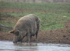 Having a Drink... (catherine4077) Tags: animal outside pig drinking westvirginia shepherdstown animalsanctuary pigsanimalsanctuary