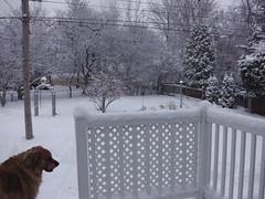 ** Cet aprs-midi d'hiver... ** (Impatience_1) Tags: winter dog chien pet snow tree animal yard fence hiver m zipper neige arbre cour impatience clture pitou coth bte animaldecompagnie supershot saveearth coth5 thesunshinegroup sunrays5