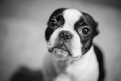 Innocence (pooshda) Tags: detail classic love boston zeiss vintage bostonterrier happy dof bokeh sony grain adorable pug bulldog 55mm frenchie frenchbulldog aww curious shallow alpha 18 guilty timid sonnar a7r a7rii