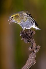 "Lugano ""Spinus spinus"" (alimoche67) Tags: barcelona espaa naturaleza fauna minolta sony flash aves hide alpha catalua slt comedero strobist translucentmirror josejurado"