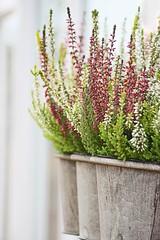 Multicoloured Heathers (haberlea) Tags: flowers plants white nature garden purple heather pots mygarden heathers